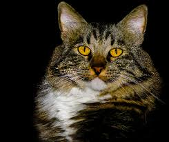 bobtail cat american bobtail cat breed information pictures characteristics