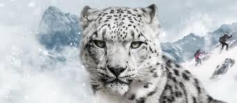mountain cat climbing mountains to help a mountain cat snow leopard trust
