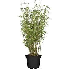 gartenbambus jumbo höhe 60 80 cm topf ca 7 5 l fargesia