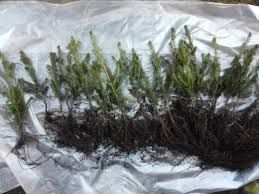 Christmas Tree Saplings For Sale by Norway Spruce Plants Seedlings Wholesale Denmark Europe