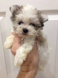 Cute Non Shedding Dog Breeds by Such A Cute Havamalt I U0027m Not Normally A Small Dog Person But I