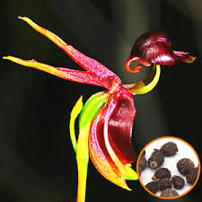 20pcs flying duck orchid seeds caleana major orchid flowers garden
