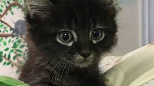 honda cat for honda the kitten survives 90 mile ride in suv engine newsday