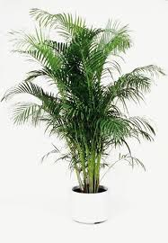 golden palm in pots 32 best palm tree decor images on palm trees indoor