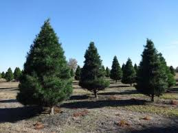 Pinecrest Christmas Tree Farm by Christmas Tree Farms Ma Photo Albums Perfect Homes Interior