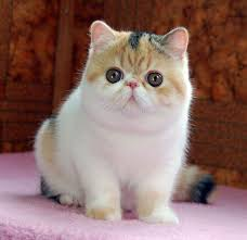 shorthair cat price 129 best calico cats images on calico cats kitty cats