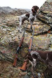 German Shorthaired Pointer Shed Hunter by Gentleman Bobwhite Hunting Dogs Pinterest