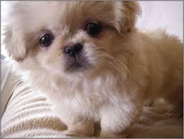 fluffy dog breeds that don t shed best dog 2017