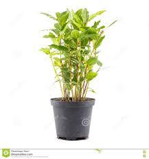 petit arbre de laurier dans le pot de fleur image stock image