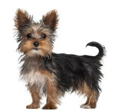 Shed Free Lap Dogs by Yorkshire Terrier