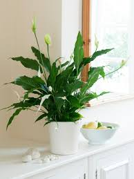 Pot Plants For The Bathroom by How To Grow Peace Lilies Hgtv