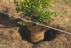 photo how to for planting boxwood hedges