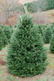 Fraser Fir Christmas Trees For Sale by Your Guide To Picking The Perfect Christmas Tree
