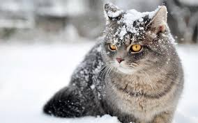snow cat snow cats live wallpaper android apps on play