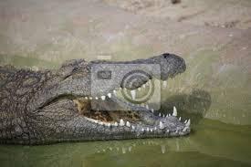 krokodil crocodylia niloticus kopf geöffnetes maul bilder myloview