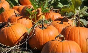 Snohomish County Pumpkin Patches by Picha Farms Pumpkin Patch Washington State Haunt