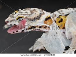 Crested Gecko Shed Stuck On Eye by Gecko Tongue Stock Images Royalty Free Images U0026 Vectors