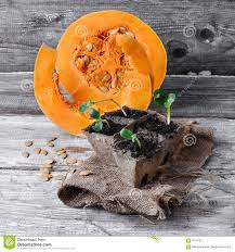 Stages Of Pumpkin Growth by Stages Of Growing Pumpkins Stock Photo Image 70147911