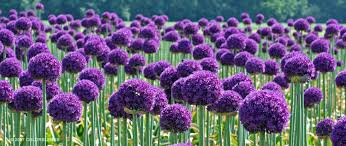 allium allium ambassador allium bulbs for sale colorblends
