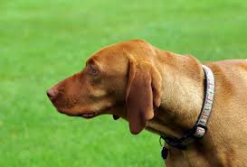 When Do Vizslas Shed Their Puppy Coat by Breed Of The Week The Vizsla Video Simply For Dogs