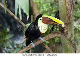 Flying Toucan Also Known As The Fruit Loops Bird