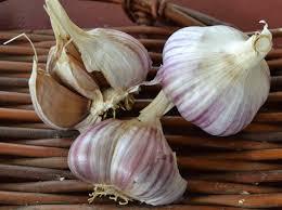 certified organic gourmet seed garlic whistling duck oregon