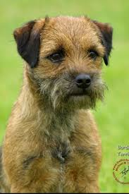 8 best border terriers images on pinterest dogs patterdale