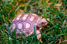 Flukers Turtle Clamp Lamp by Sulcata Tortoise For Sale Buy Baby Sulcata Tortoises For Sale