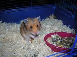 combien coûte un hamster question hamster wamiz
