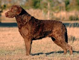 Chesapeake Bay Retriever Vs Lab Shedding by Dogs And Cats For Adoption Share Your Story Save A Life Happy