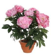 pivoine herbacee en pot fleur archives page 6 sur 38 atelier floral