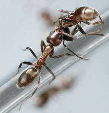 nest kommunikation duftstoff bewahrt ameisen vor beerdigung