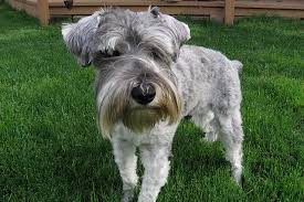 Do Giant Schnauzer Dogs Shed Hair by 5 Dog Breeds For People With Asthma And Other Allergies Petful