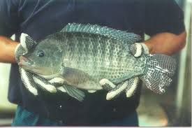 Americas Premier Source Of High Performance Disease Free Nile Tilapia Fingerlings