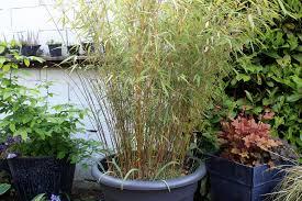 entretien des bambous en pot taille bambou pot pivoine etc