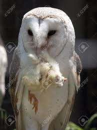Barn Owl Eating Stock Photo, Picture And Royalty Free Image. Image ... Barn Owl Eating Mouse Sussex Uk Tyto Alba Stock Photo Royalty Bird Of The Month Owl Barn A Free Image 51931121 How To Attract Owls Your Yard 1134 Best Birdsstrigiformesowls Images On Pinterest Wikipedia Facts Pictures Diet Breeding Habitat Behaviour Eating Picture And 1861 Owls Snowy Saw Whets Chick Raptor Conservancy Virginia Baby And Animal