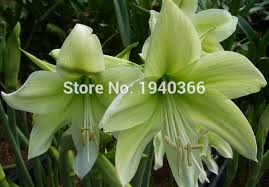 free shipping 2015 flower bulbs 2bulbs yellow amaryllis bulbs