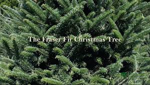 Fraser Fir Christmas Trees Nc by Fraser Fir Christmas Tree From Green Valley Christmas Trees Youtube
