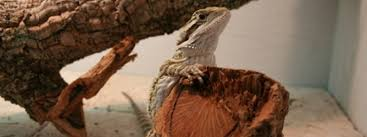 establishing the proper temperatures for a bearded dragon
