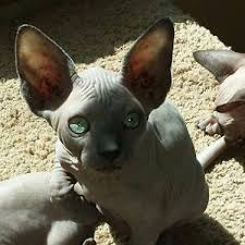 hairless cat price 238 best barebottom sphynx images on healthy sphynx