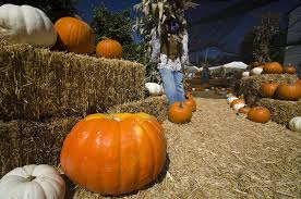 Pumpkin Farm Ct by Heritage Park Harvests Family Fun Campus Times