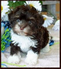Non Shedding Dog Breeds Small by Havanese Puppies Havanese Breeder Puppy Breeder In Knoxville