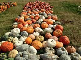 The Great Pumpkin Patch Arthur Il by Best Kept Secret Negangard Pumpkin Patch