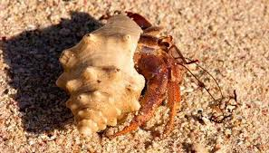 what happens to a hermit crab if its claw comes off animals