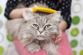 Siberian Cat Hair Shedding by Basic Cat Grooming Tools Pets Happy Hour