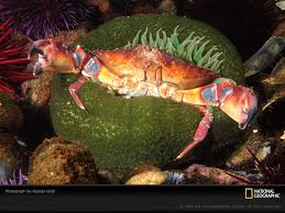 decorator crabs eat fish decorator crab and sea sponge symbiotic relationship crab