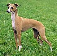 Do Italian Greyhounds Shed A Lot by Italian Greyhound Care A Lot Pet Supply