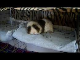 Pine Bedding For Guinea Pigs by 10 Things To Avoid 1 Banana 2 Cedar Bedding 3 Pine Bedding