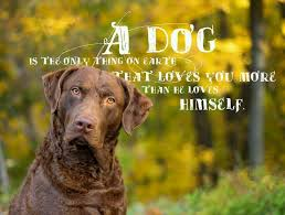 chesapeake bay retriever dog breed information chesapeake bay