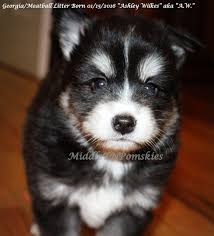 Do Pomskies Shed Fur by Pin By Karen Smith On Pomskies Pomsky Puppies And Dogs